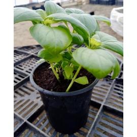 Basilic vert en pot